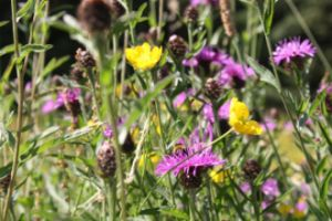 Wildflowers in Newton Aycliffe